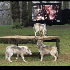 Wolves at Longleat watching New Moon