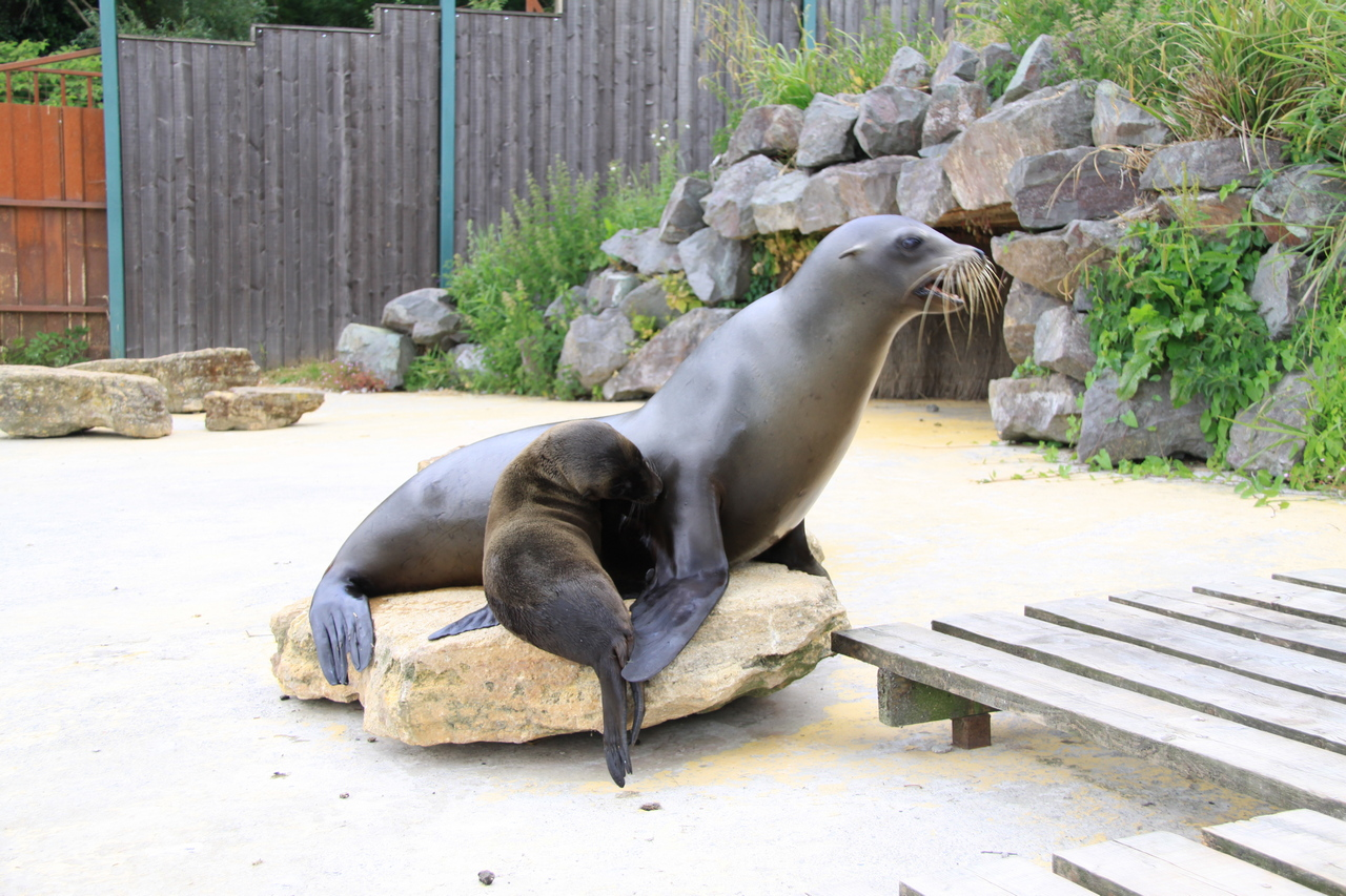 Riley - the Sea Lion pup - with mum Zook