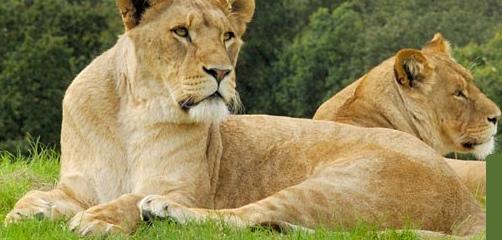 Woburn Lions