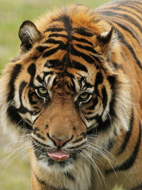 Ussuri the Siberian tiger at Dublin Zoo