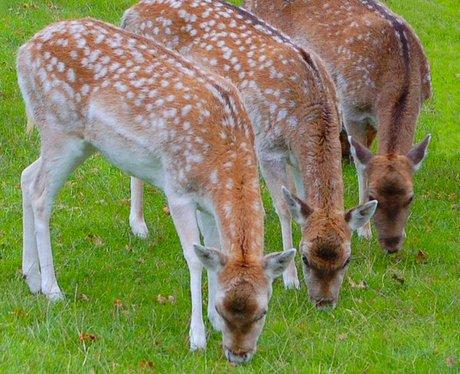 Three deer's in the park