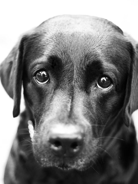 Black Labrador Looking Sad