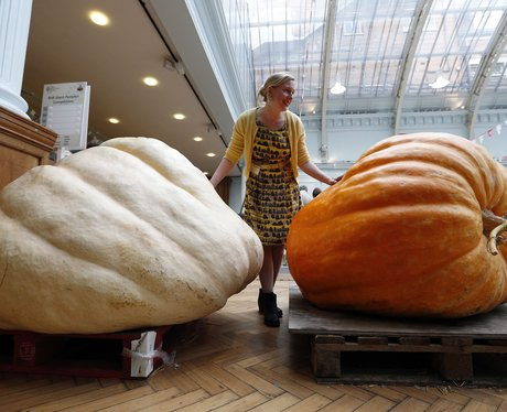 Two giant pumpkins