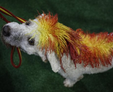 a dog with red and yellow hair