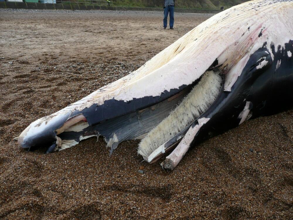 Cromer Whale 3