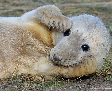 a seal pub hiding it's head in it's paws