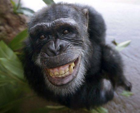 A chimp smiling