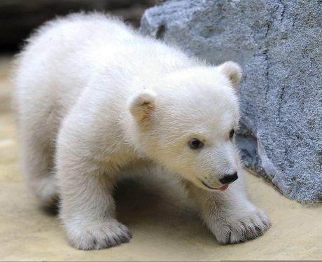 A baby polar bear finding it's feet