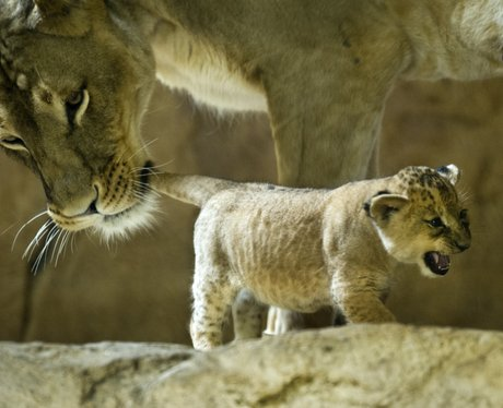 A mother lion holding her cubs tail in her mouth
