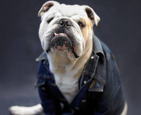 A dog in a denim jacket