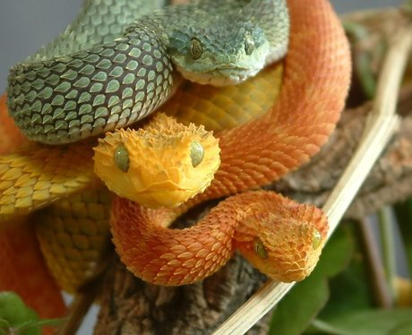 green and orange vipers