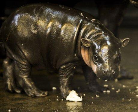 Pygmy hippo baby at Bristol Zoo