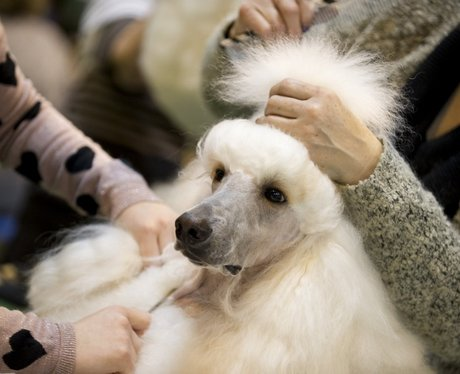 white poodle being pampered