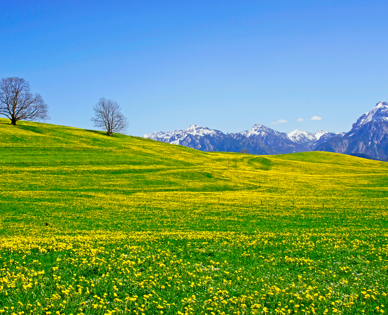 A field full of yellow flowers