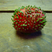 Image 2: A germinating strawberry