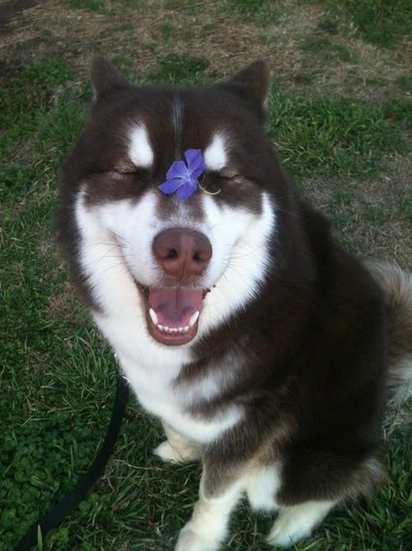 husky with flower on his face