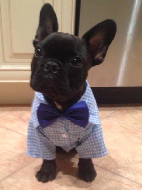 A French Bulldog in in a dinner jacket