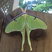 Image 2: A giant green moth