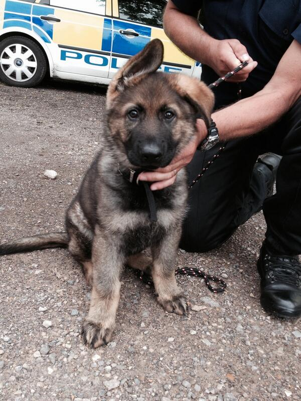Gus the Dorset police dog