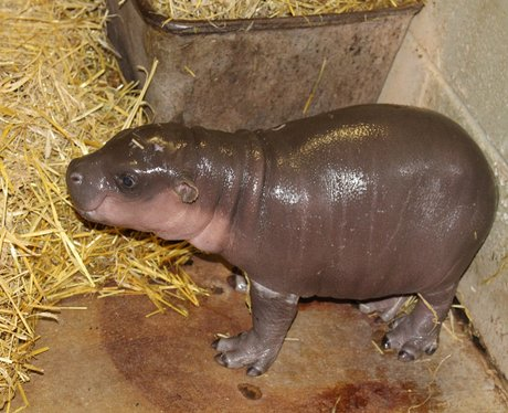 Baby pygmy hippo at Whipsnade Zoo