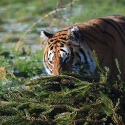 Tiger with Xmas tree at Noah's Ark Zoo Farm_3