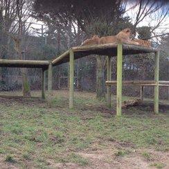 Newquay Zoo lions