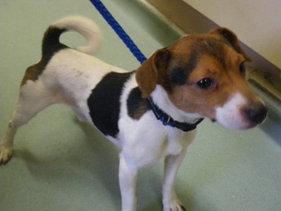 Jack Russell dog Hampshire Bransgore RSPCA