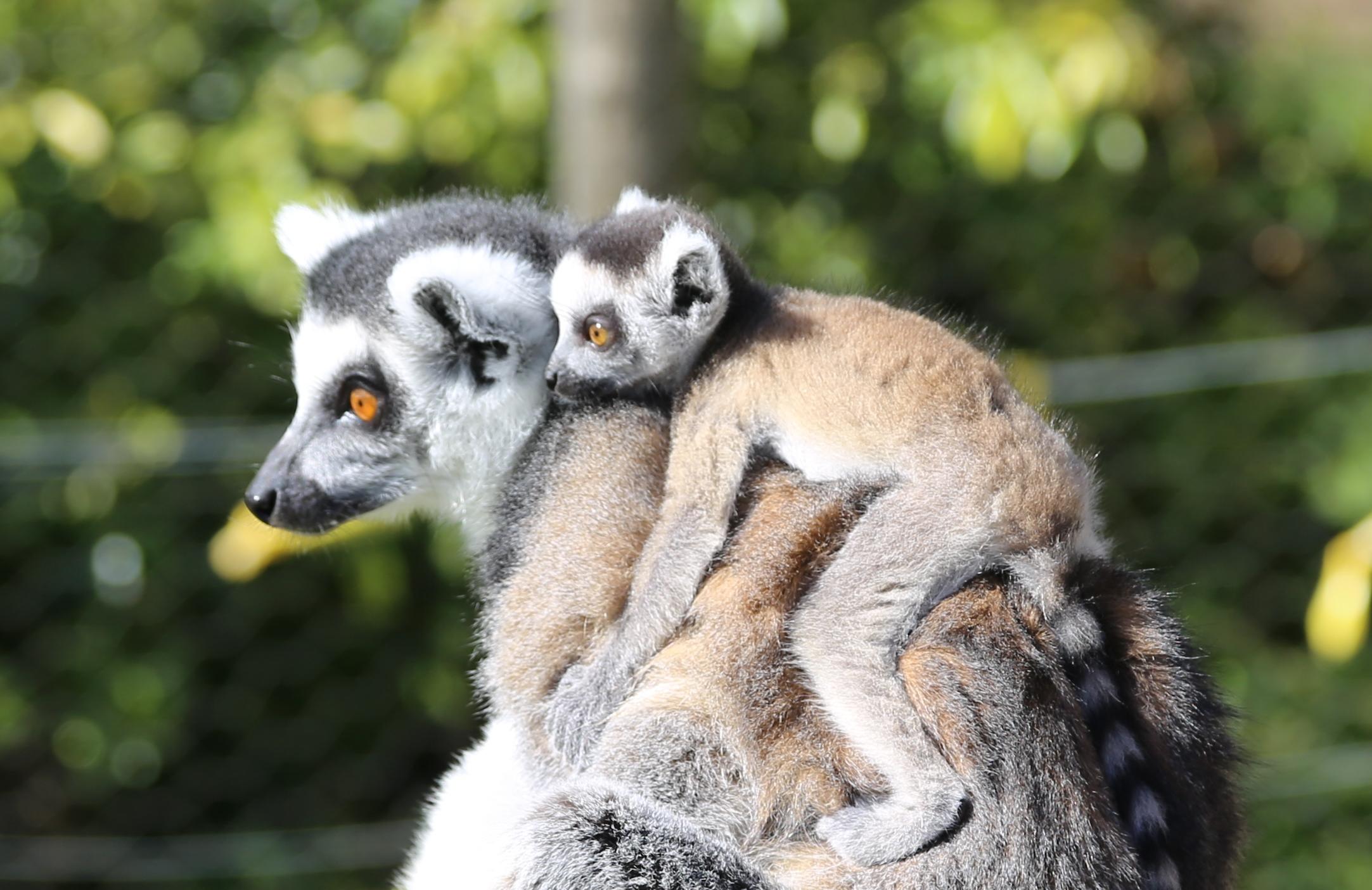 Lemur At Whipsnade