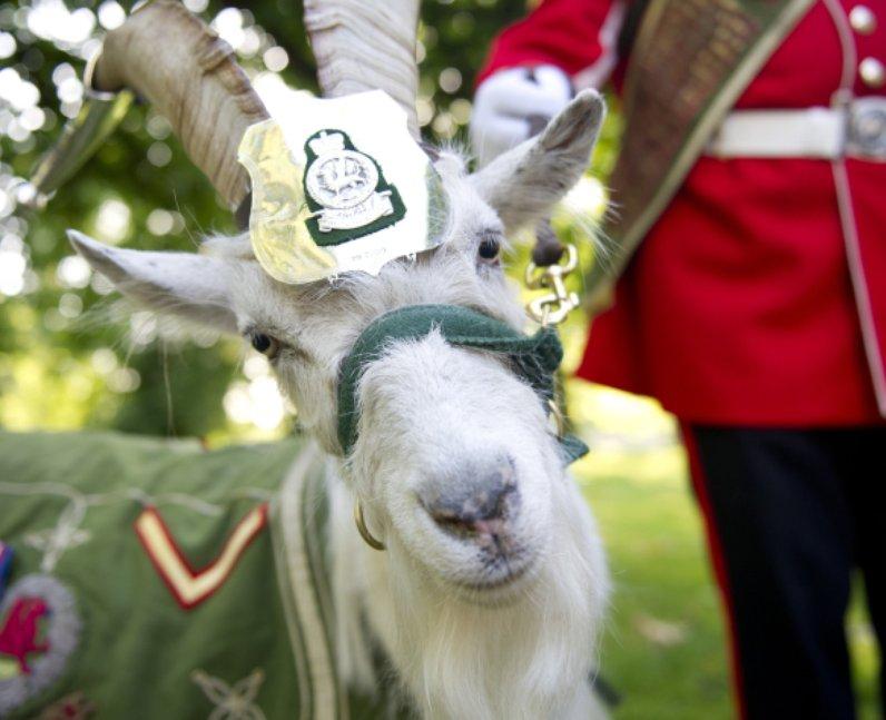 Taffy On Regimental Duty
