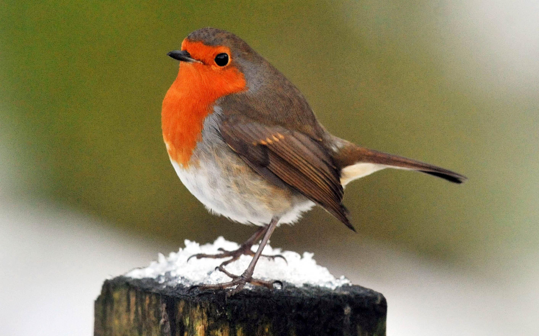 A robin bird