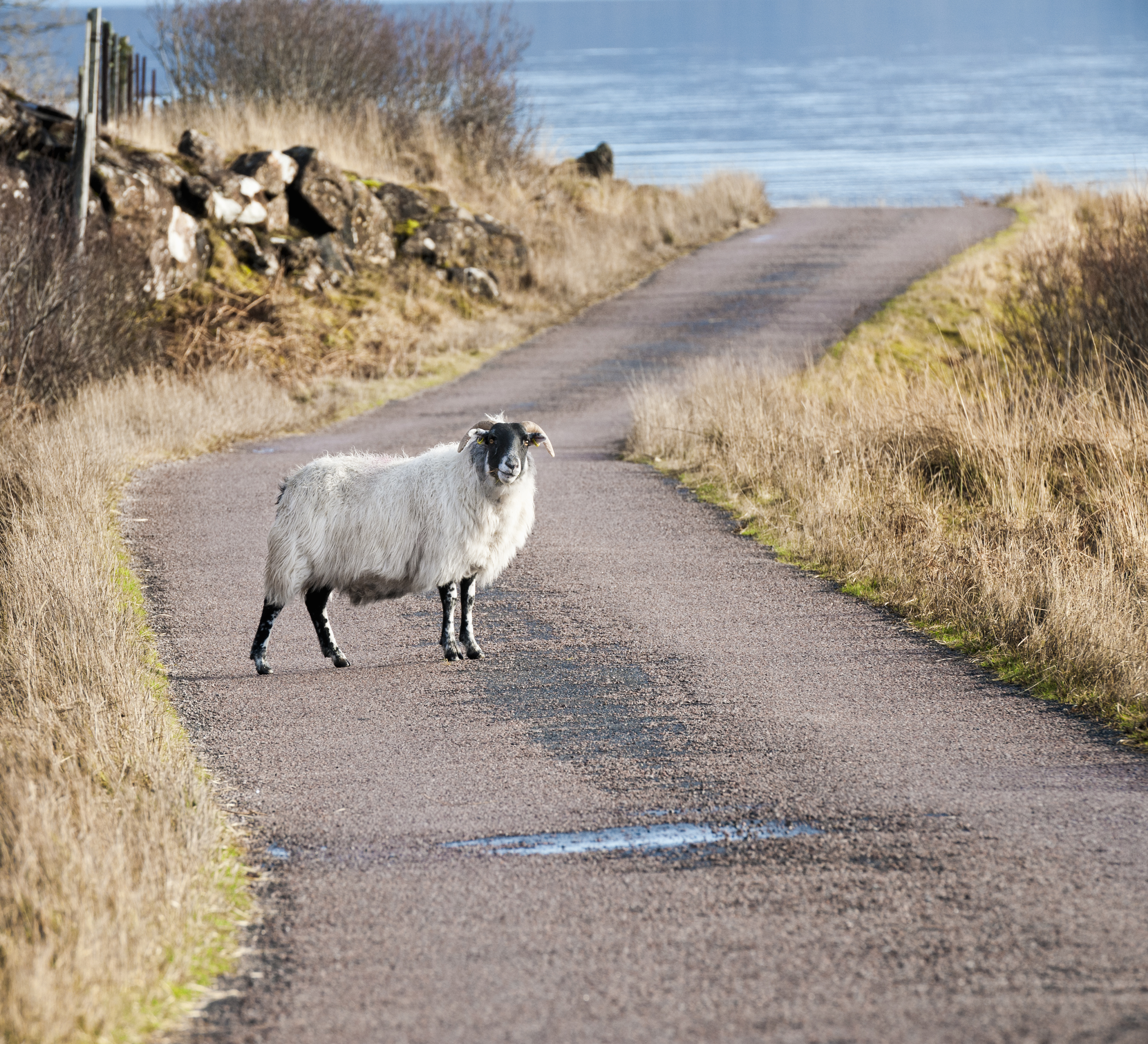 Sheep on country road