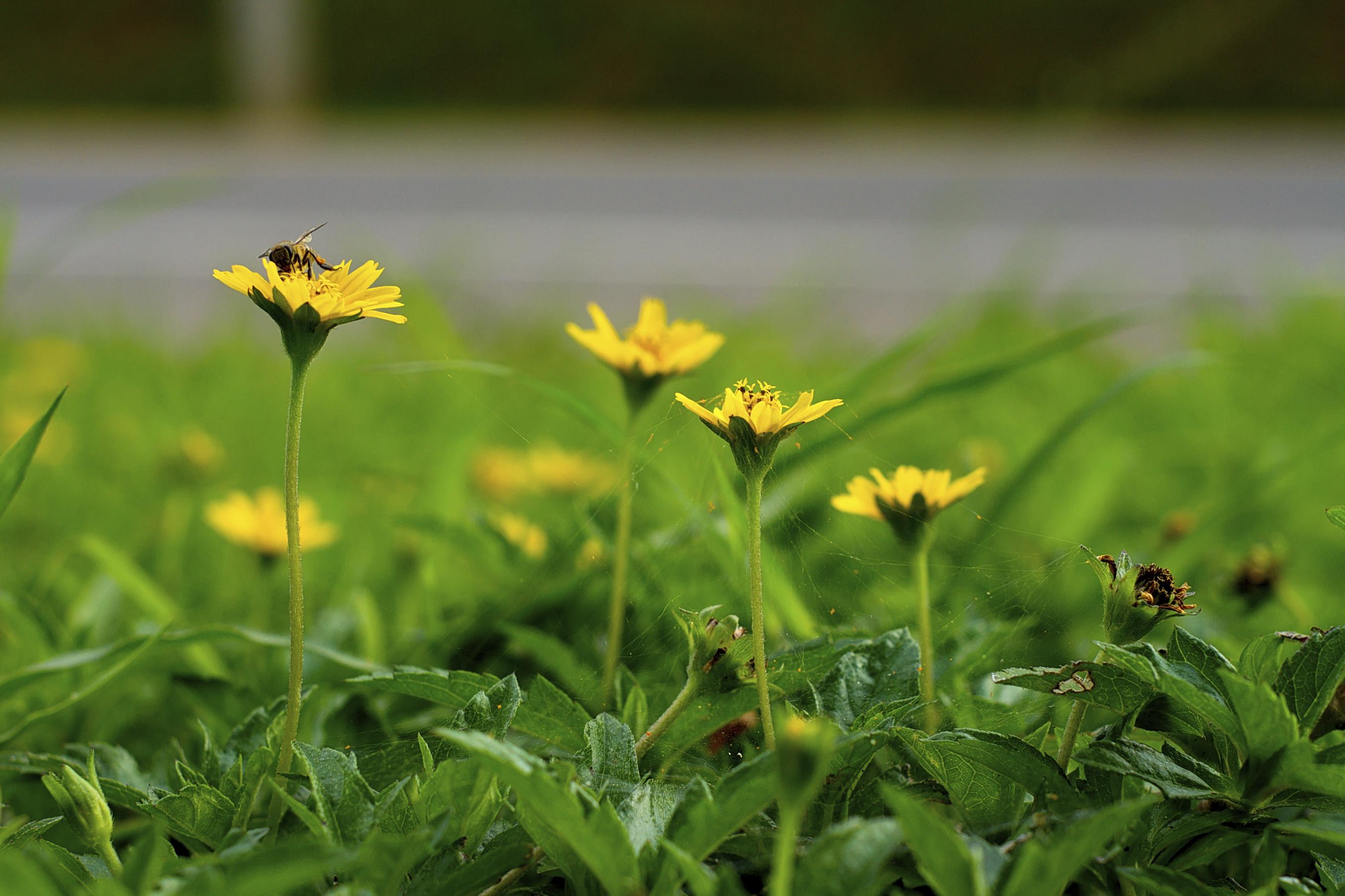 garden grass daisy