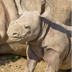 Rhino kent