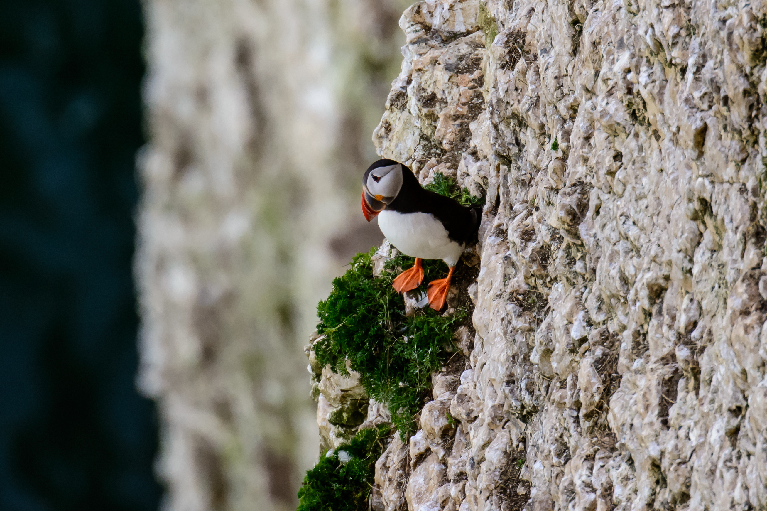 Puffins Are Officially Under Threat Of Global Exti