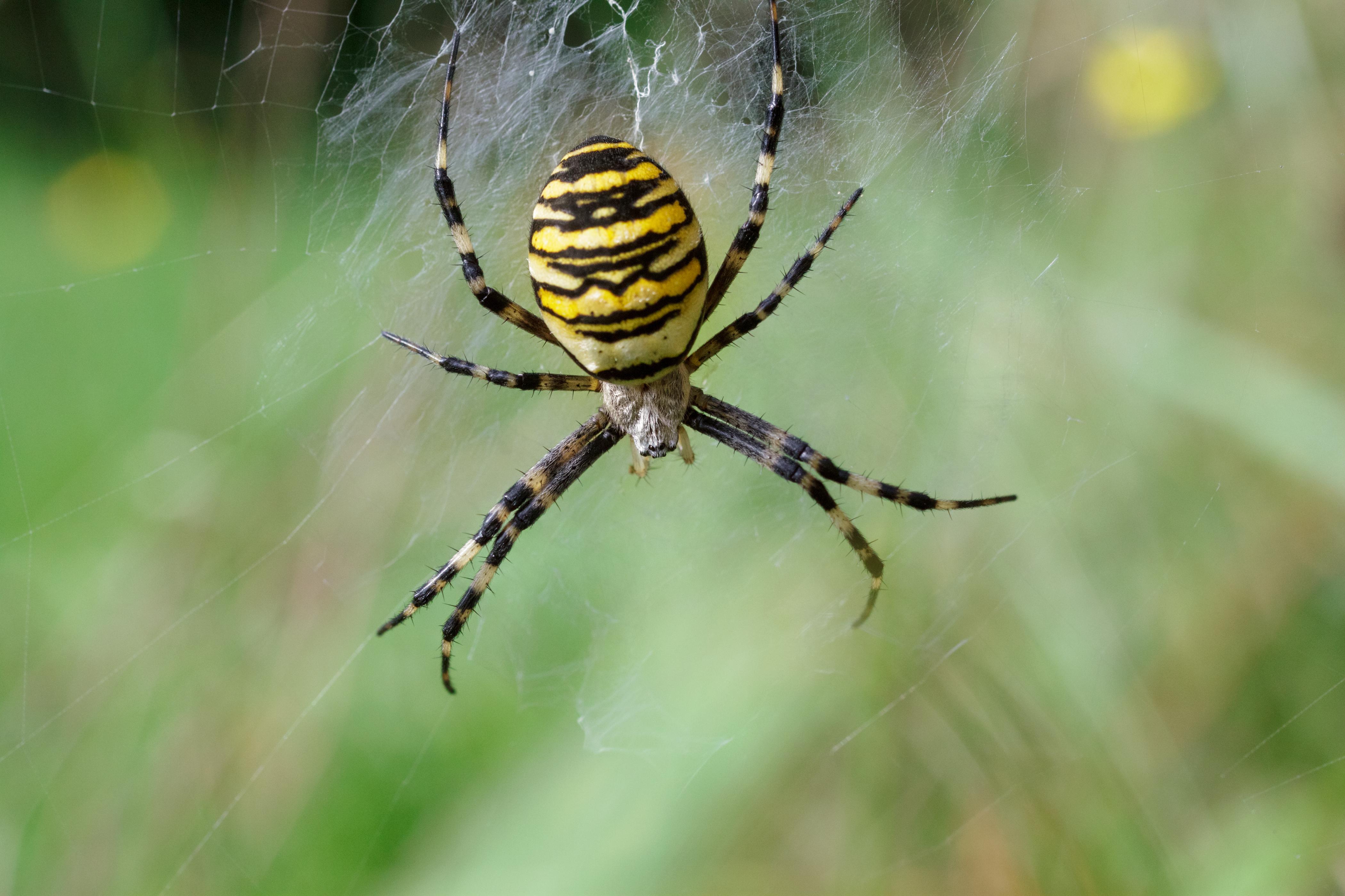 Is The Garden Spider Poisonous Garden Ftempo