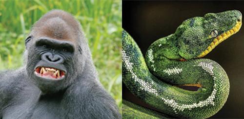 Paignton Zoo, Gorilla, Snake
