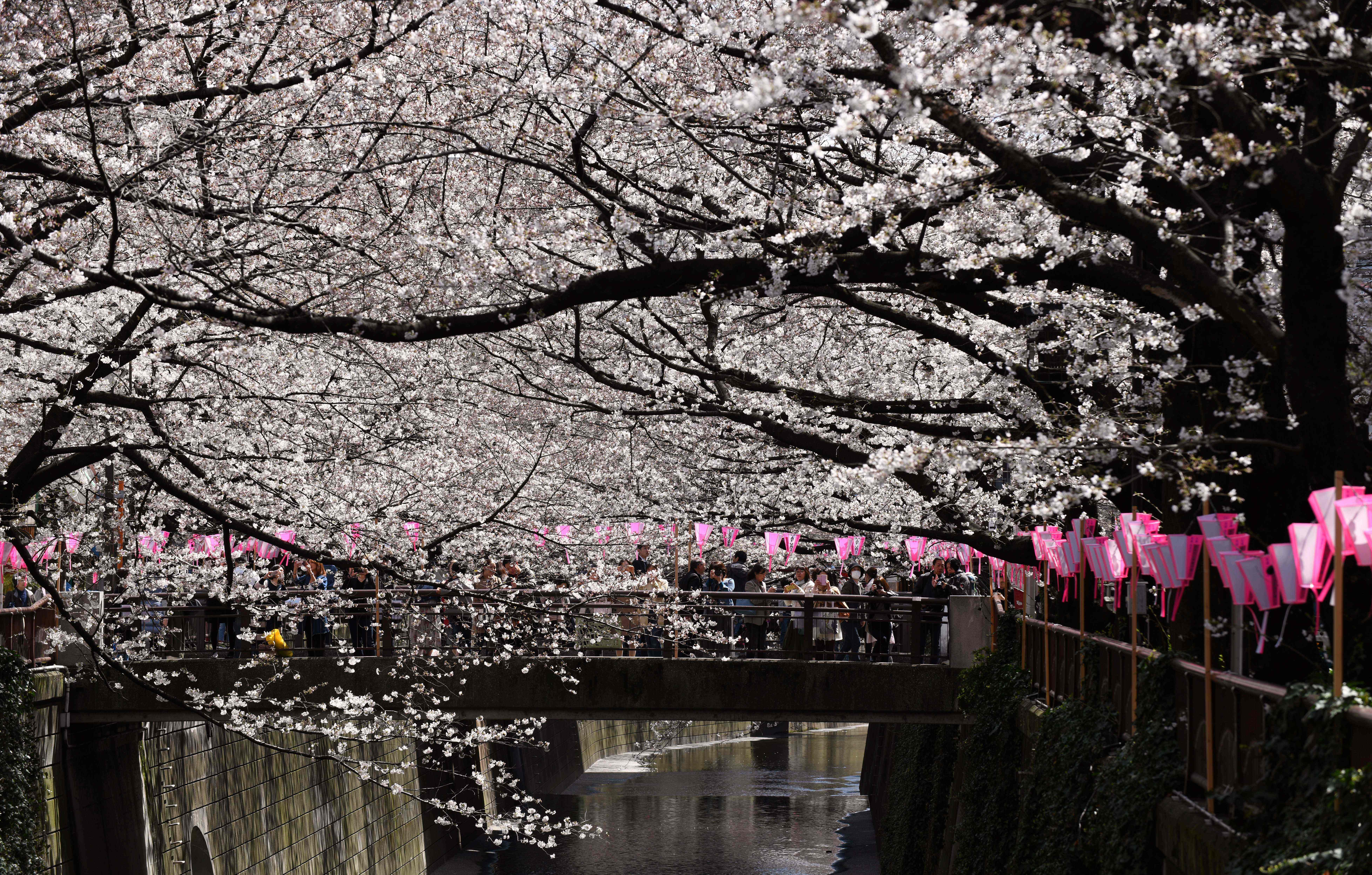 Cherry Blossoms 4