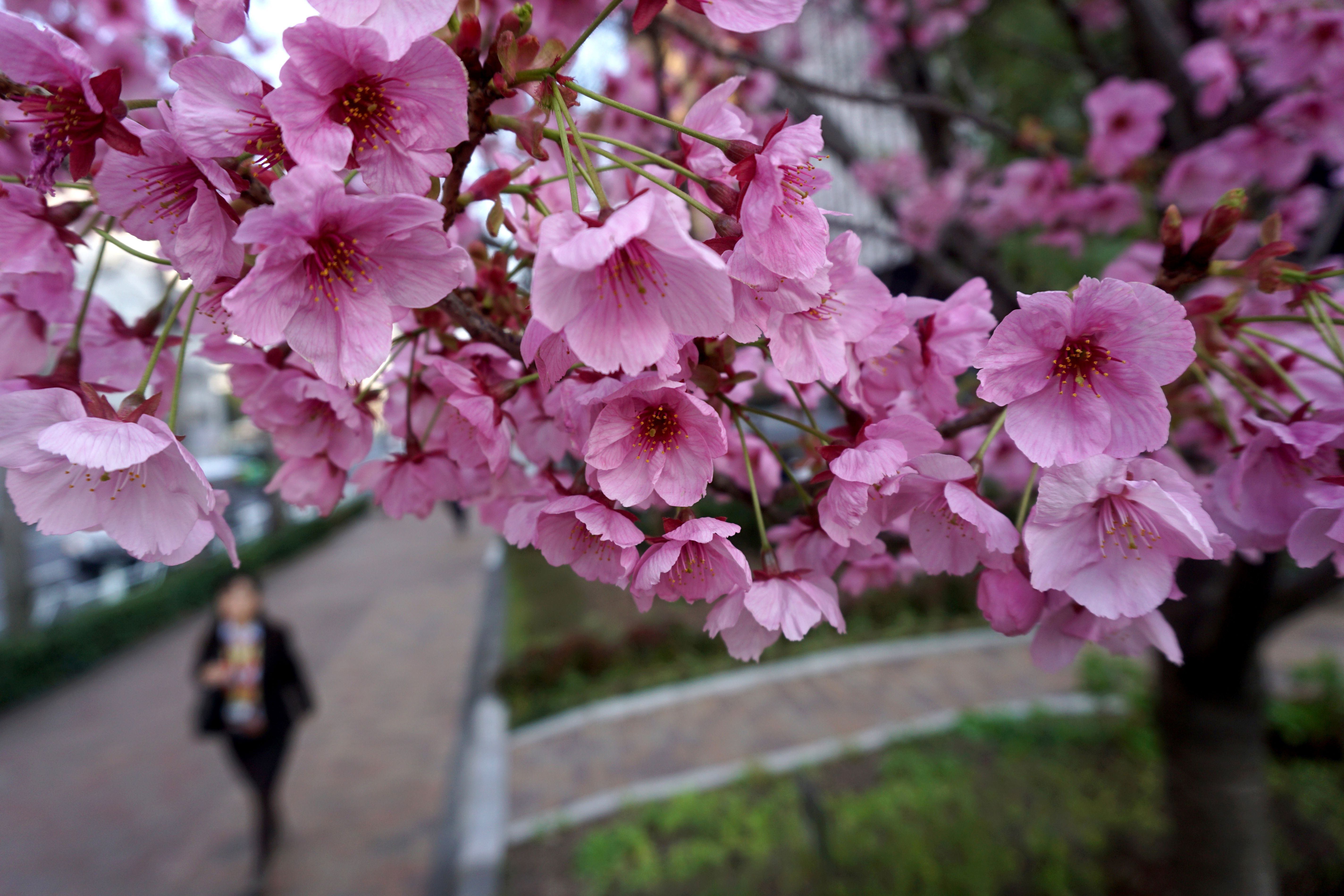 Cherry Blossoms 5