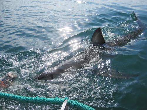 Simon's South Africa shark swimming
