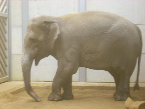 New elephant at Woburn Safari Park