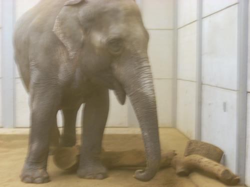 New elephant at Woburn Safari Park