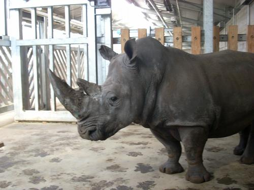 Miriam the Rhino