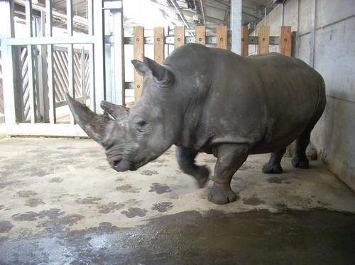 Miriam the Rhino