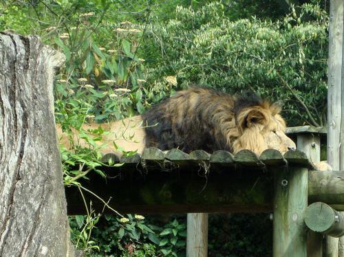 Kamal the Lion at Bristol Zoo
