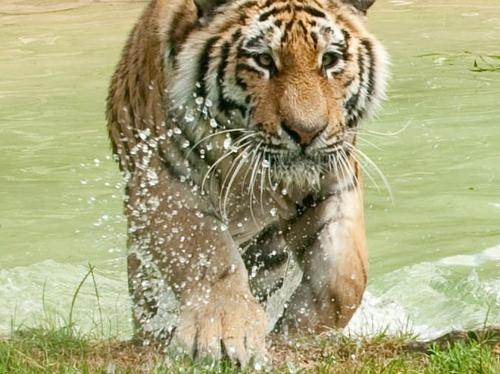 Tigers at Howletts keeping cool during the hot wea