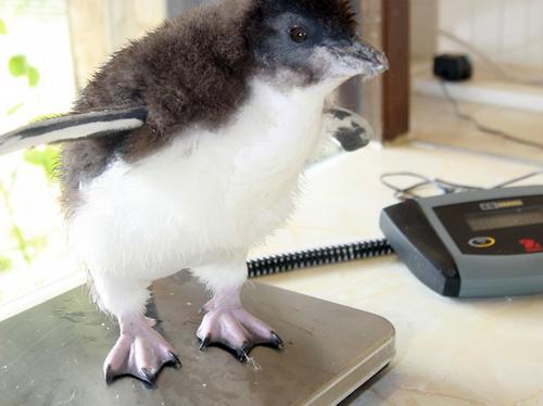 10 week old rockhopper weighed at zoo
