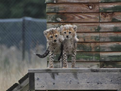 Cheetah cubs hug