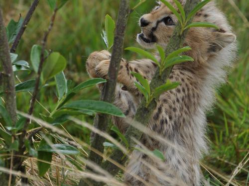 Cub playing with a branch