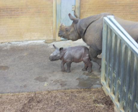 Baby Rhino in Whipsnade
