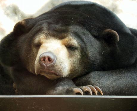 Sun Bear Srey-Ya asleep